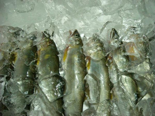 Sweetfish from Miya-gawa